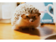 hedgehog_884875.jpg