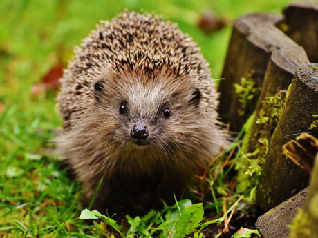 hedgehog_child_1759027_1920.jpg
